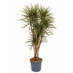 Драцена marginata spider branched Диаметр горшка — 31 см Высота растения — 150 см