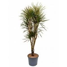 Драцена marginata spider branched Диаметр горшка — 35 см Высота растения — 180 см