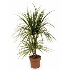 Драцена marginata sunray 30-15 Диаметр горшка — 17 см Высота растения — 65 см