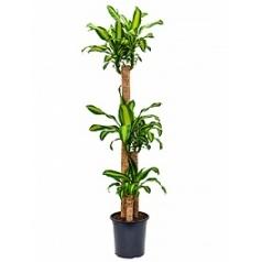 Драцена massangeana 120-60-30 Диаметр горшка — 27 см Высота растения — 170 см