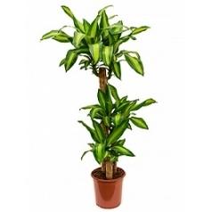 Драцена massangeana 90-45-20 Диаметр горшка — 24 см Высота растения — 135 см