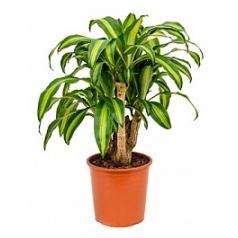 Драцена massangeana branched Диаметр горшка — 27 см Высота растения — 80 см