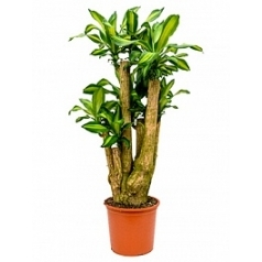 Драцена massangeana branched Диаметр горшка — 32 см Высота растения — 140 см