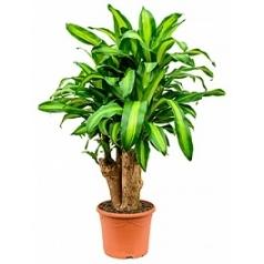 Драцена massangeana branched Диаметр горшка — 30 см Высота растения — 115 см