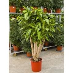 Драцена massangeana branched Диаметр горшка — 34 см Высота растения — 160 см