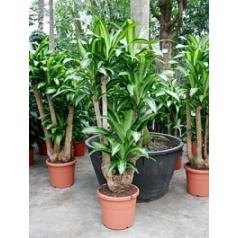 Драцена massangeana branched Диаметр горшка — 40 см Высота растения — 175 см