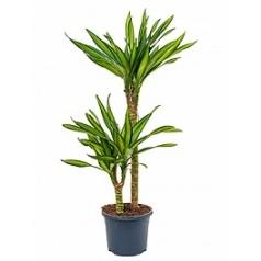 Драцена riki 45-15 Диаметр горшка — 19 см Высота растения — 95 см