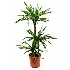 Драцена riki 60-30-15 Диаметр горшка — 21 см Высота растения — 110 см