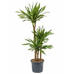 Драцена riki 60-30-15 Диаметр горшка — 23 см Высота растения — 110 см