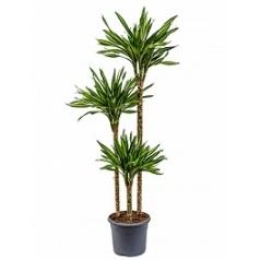 Драцена riki 90-60-30 Диаметр горшка — 26 см Высота растения — 140 см