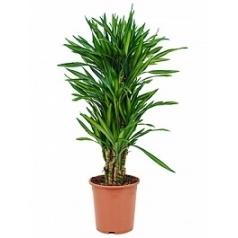 Драцена riki branched-multi Диаметр горшка — 27 см Высота растения — 110 см