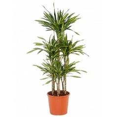 Драцена riki carrousel (6pp) Диаметр горшка — 32 см Высота растения — 140 см