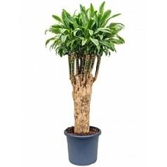 Драцена santa rosa stem branched Диаметр горшка — 48 см Высота растения — 180 см
