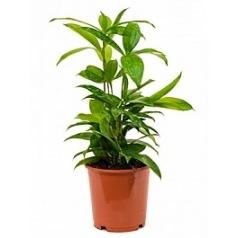 Драцена surculosa bush Диаметр горшка — 15 см Высота растения — 40 см