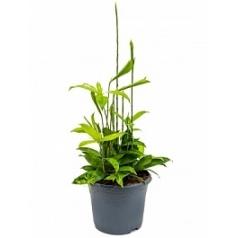 Драцена surculosa bush Диаметр горшка — 23 см Высота растения — 50 см