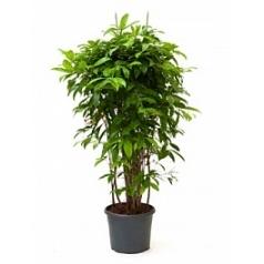 Драцена surculosa bush Диаметр горшка — 31 см Высота растения — 130 см