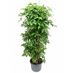Драцена surculosa bush Диаметр горшка — 40 см Высота растения — 190 см