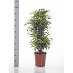 Драцена surprise branched-multi Диаметр горшка — 24 см Высота растения — 80 см