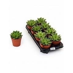 Эчеверия mira Диаметр горшка — 12 см Высота растения — 15 см