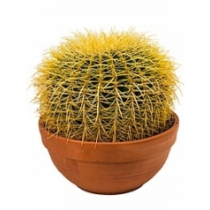 Эхинокактус grusonii 30 cm Диаметр горшка — 30 см Высота растения — 35 см