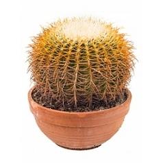 Эхинокактус grusonii albispina 30 cm Диаметр горшка — 30 см Высота растения — 30 см