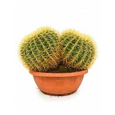 Эхинокактус grusonii cluster Диаметр горшка — 35 см Высота растения — 35 см