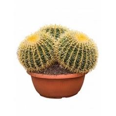 Эхинокактус grusonii cluster Диаметр горшка — 40 см Высота растения — 50 см