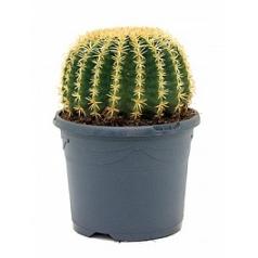 Эхинокактус grusonii intermedius 20 cm Диаметр горшка — 21 см Высота растения — 30 см