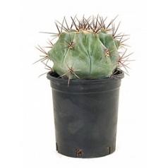 Эхинокактус ingens Диаметр горшка — 12 см Высота растения — 25 см