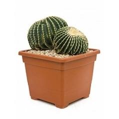 Эхинокактус subinermis cluster 2 ball Диаметр горшка — 38 см Высота растения — 50 см