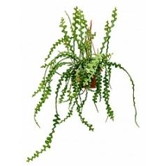 Эпифиллум anguliger hanging plant Диаметр горшка — 20 см Высота растения — 40 см
