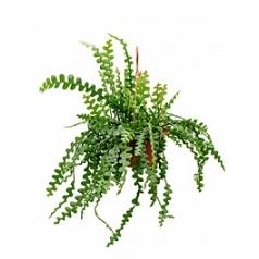 Эпифиллум anguliger hanging plant Диаметр горшка — 25 см Высота растения — 50 см