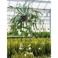 Эпифиллум phyllanthus hanging basket Диаметр горшка — 35 см Высота растения — 75 см