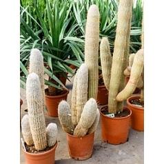 Эспостоя melanostele 5pp (100-110) Диаметр горшка — 27 см Высота растения — 100 см