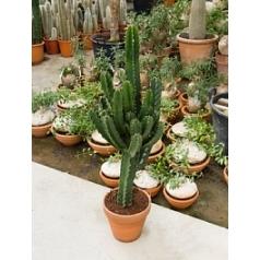 Эуфорбия ingens branched Диаметр горшка — 27 см Высота растения — 100 см