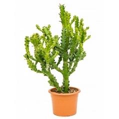 Эуфорбия mayuranathanii branched Диаметр горшка — 25 см Высота растения — 100 см