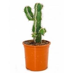 Эуфорбия polyacantha Диаметр горшка — 12 см Высота растения — 25 см