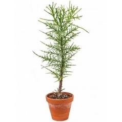 Эуфорбия stenoclada branched (180-210) Диаметр горшка — 27 см Высота растения — 100 см