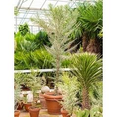 Эуфорбия stenoclada branched (180-210) Диаметр горшка — 60 см Высота растения — 250 см