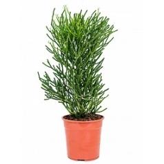 Эуфорбия tirucalli bush Диаметр горшка — 24 см Высота растения — 85 см