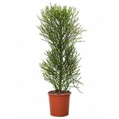 Эуфорбия tirucalli bush Диаметр горшка — 30 см Высота растения — 130 см