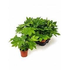 Фатсия japonica tuft Диаметр горшка — 13 см Высота растения — 45 см