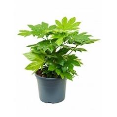 Фатсия japonica tuft Диаметр горшка — 31 см Высота растения — 80 см