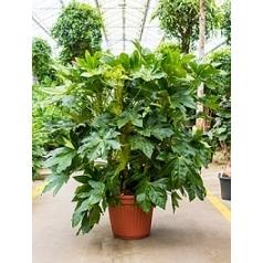 Фатсия japonica tuft Диаметр горшка — 40 см Высота растения — 135 см