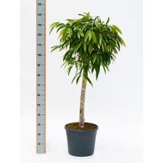 Фикус alii stem Диаметр горшка — 35 см Высота растения — 150 см