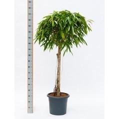 Фикус alii stem Диаметр горшка — 40 см Высота растения — 170 см