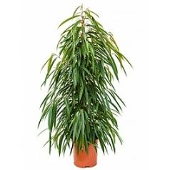 Фикус alii tuft Диаметр горшка — 27 см Высота растения — 135 см