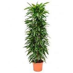 Фикус amstel king column Диаметр горшка — 29 см Высота растения — 150 см