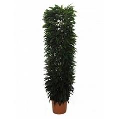 Фикус amstel king column Диаметр горшка — 48 см Высота растения — 250 см