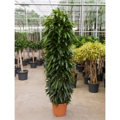 Фикус amstel king column Диаметр горшка — 40 см Высота растения — 220 см